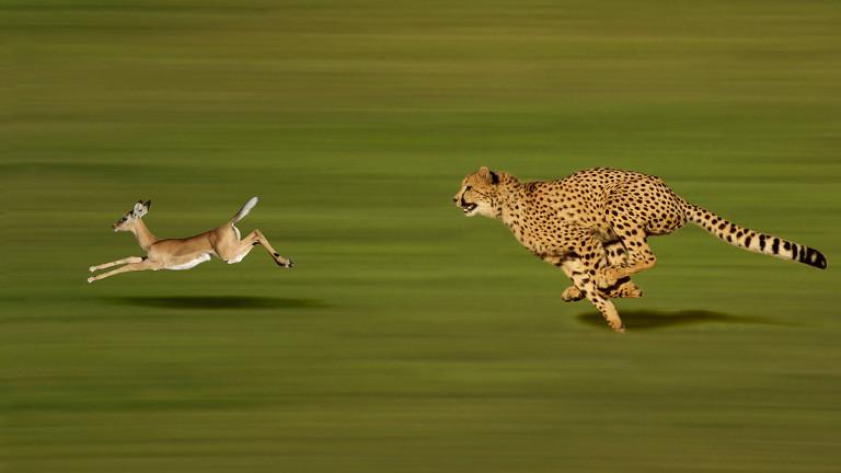 Eine Thomson-Gazelle wird gejagt.