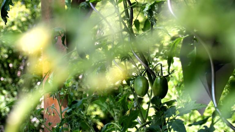 Grüne Tomaten im Strauch