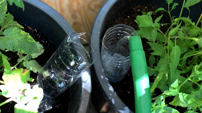 Zerschnittene Plastikflaschen als Tomatengießhilfe