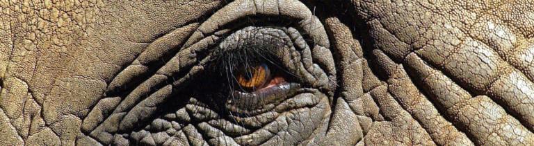 Nahaufnahme eines Elefantenauges (Afrikanischer Elefant)