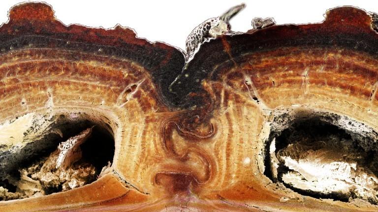 Ein Querschnitt eines Panzers eines Diabolischen Eisernen Käfers