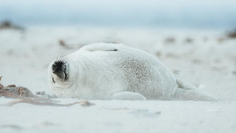 Landschaftsfotograf Max Fischer Deutschland Seehundjunge ebenfalls auf Helgoland