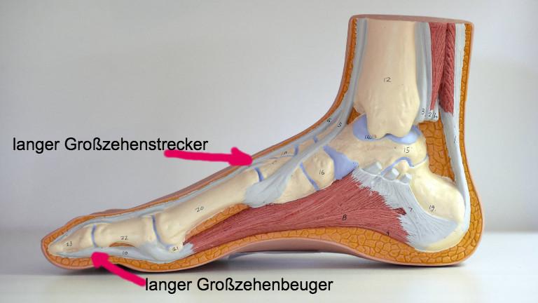 Modell des rechten Fußes Querschnitt