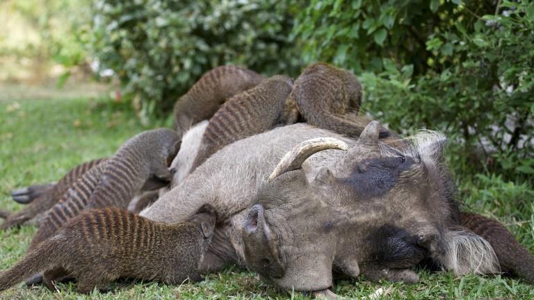 Zebramangusten essen die Zecken auf einem liegenden Warzenschwein