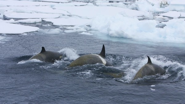 Eine Gruppe von Orcas auf der Jagd im Eismeer