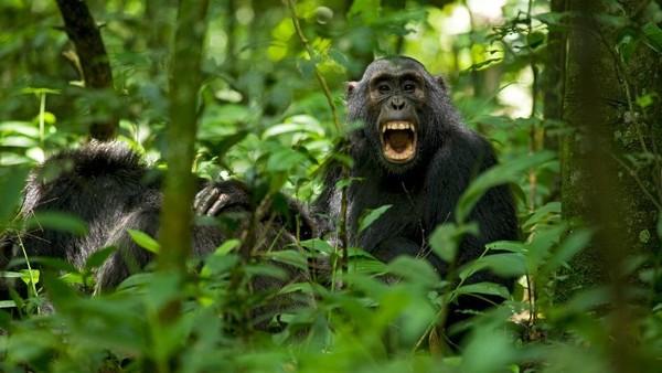 Schimpansen im Wald von Uganda