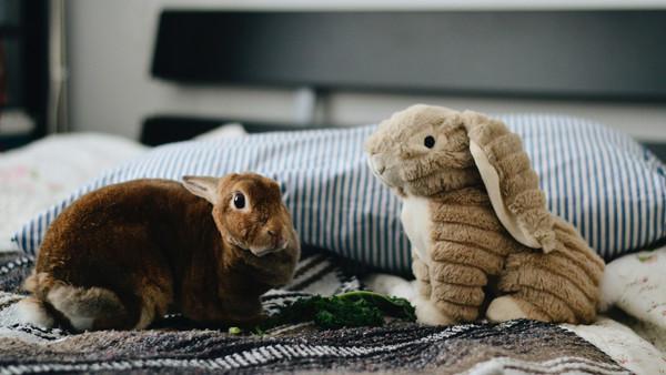 Echtes Kaninchen und Plüschkaninchen nebeneinander auf dem Bett