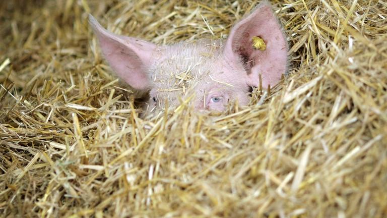 Ein Schwein guckt aus einem Heuhaufen auf einem Biobauernhof.