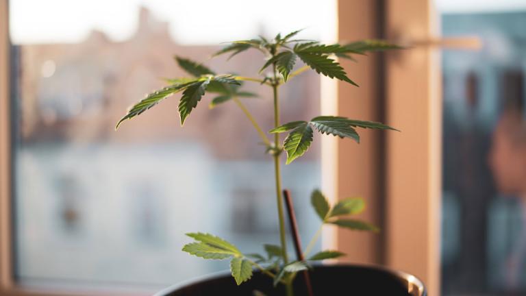Marihuana-Pflanze in einer Berliner Wohnung