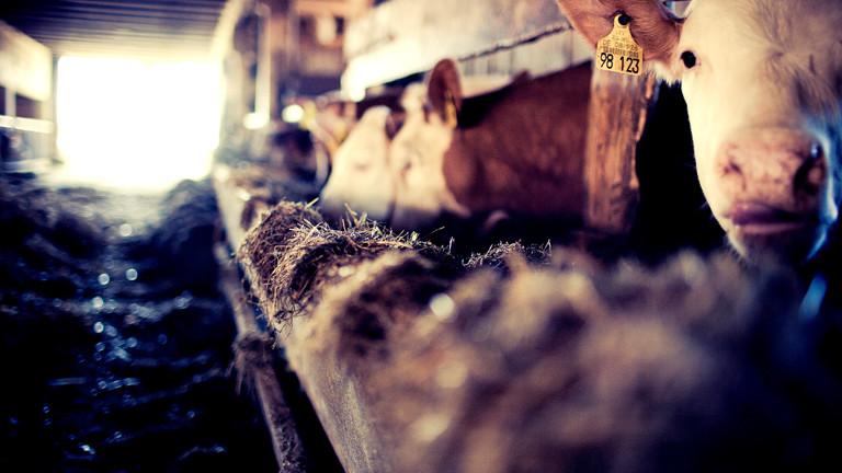 Drei Kühe in einem Kuhstall, davor ihr Futter.