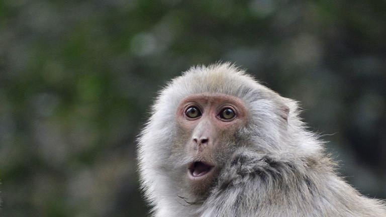 Ein chinesischer Makake mit offenem Mund