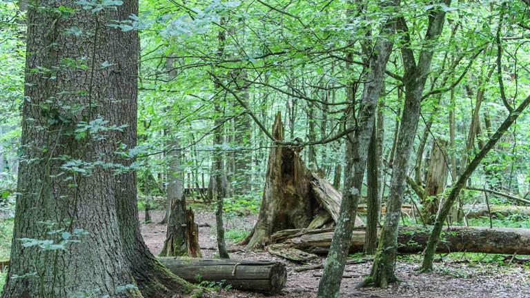 Der Białowieża-Urwald in Polen