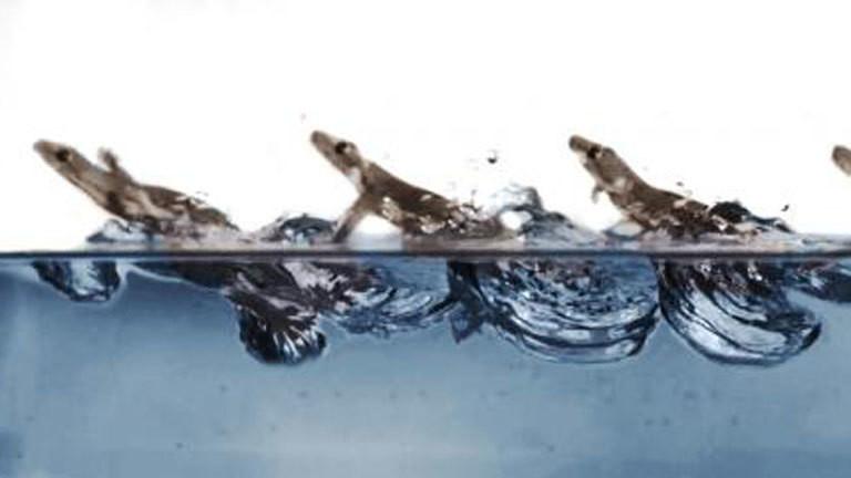 Geckos können übers Wasser laufen.