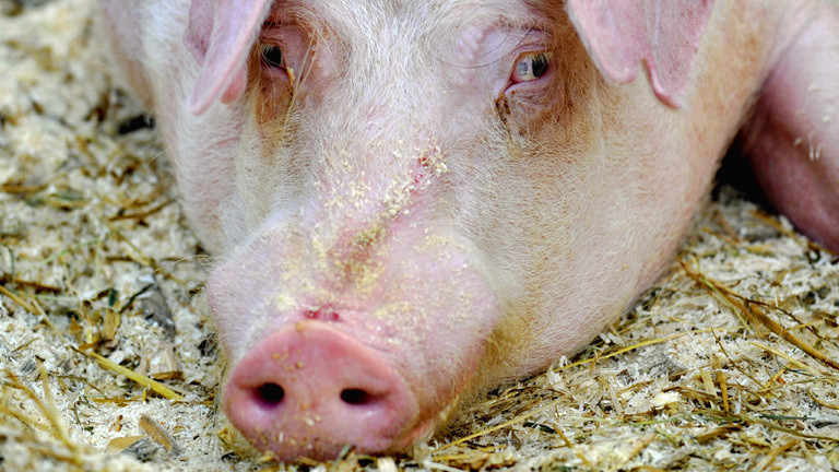 Ein Schwein legt den Kopf auf den Boden und guckt genervt nach links oben.