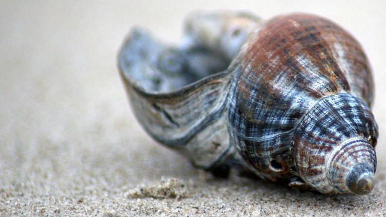 Eine Wellhornschnecke liegt auf Sand.