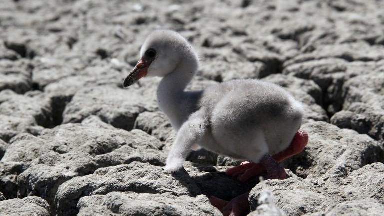 Ein frisch geschlüpftes Flamingo-Küken versucht auf einem trockenen Landstück am Kamfers Dam zu laufen.