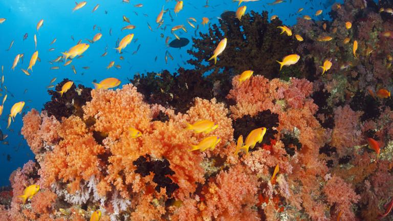 Fische und Korallen im Indischen Ozean (Malediven Colored Coral Reef)