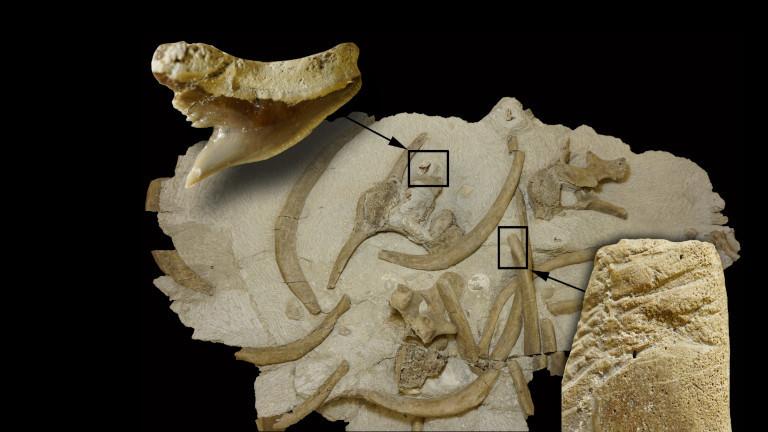 Fossilien von den Knochen einer Seekuh und von Haifisch-Zähnen