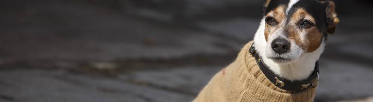 Hund in einem beigen Pullover an Hundeleine
