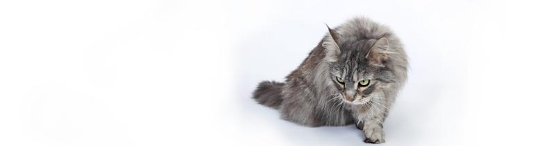 Hunger kennt keine Rücksicht: eine Maine-Coon-Katze pirscht durchs Fotostudio
