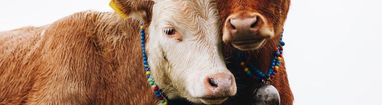 Zwei Kühe kuscheln ihre Köpfe aneinander