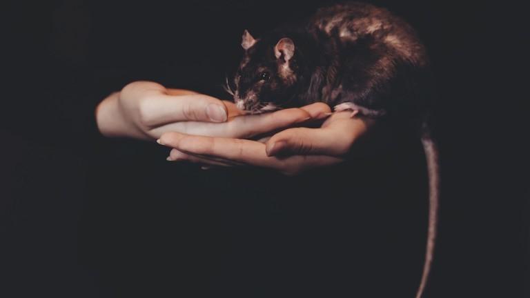 Eine Ratte sitzt in einer Hand mit schwarzen Hintergrund