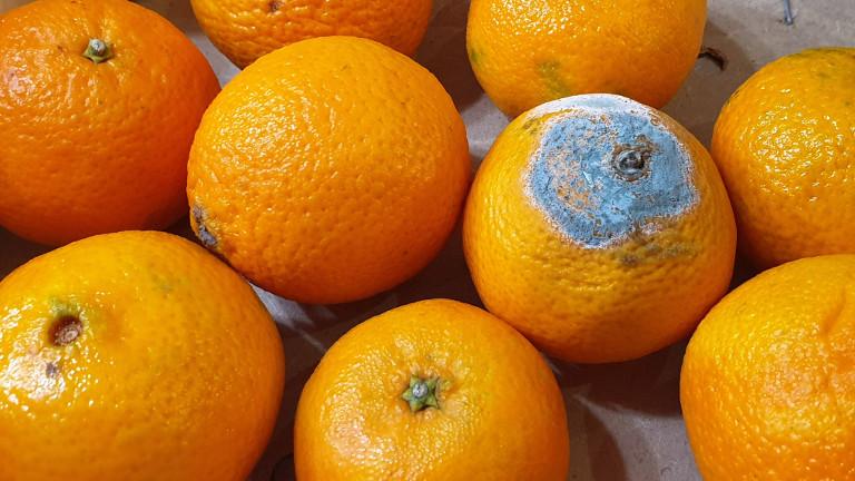 Einige Orangen, eine schimmelt