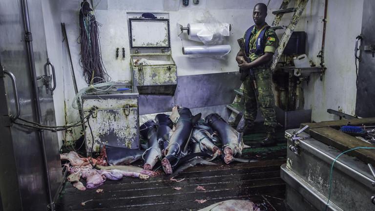 """Ein gabunischer Soldat bewacht die illegal gefangenen Haie an Bord der spanischen """"Alemar Primero""""."""