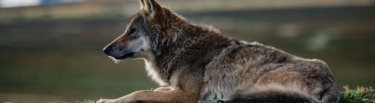 Wilder Wolf auf Gras in Qamdo im Südwesten Chinas, Sept. 15, 2020.