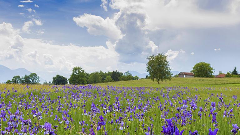 Dorf hinter idyllischer Blumenwiese