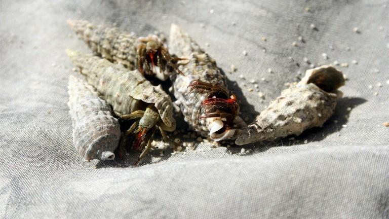 Einsiedlerkrebse tauschen gerade ihre Häuser