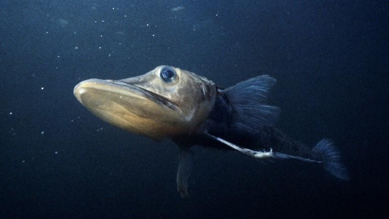 Ein Eisfisch im Meer