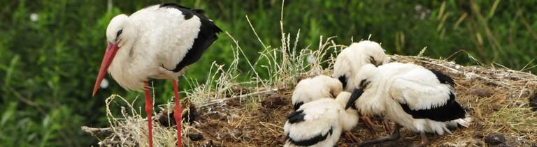 Ein Storch mit seinen vier Sprösslingen im Nest