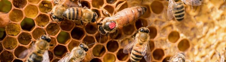 Bienen mit ihrer Bienenkönigin auf einer Wabe