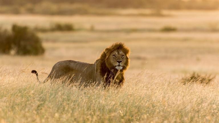 Ein Löwe in Afrika in freier Natur