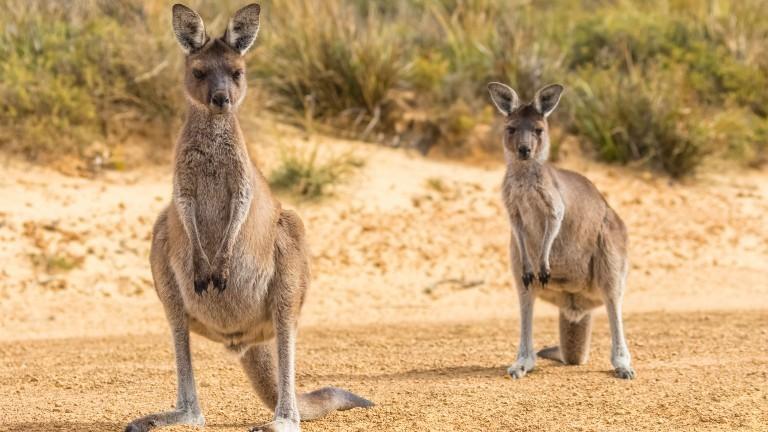 Zwei Kängurus stehen auf einer Straße