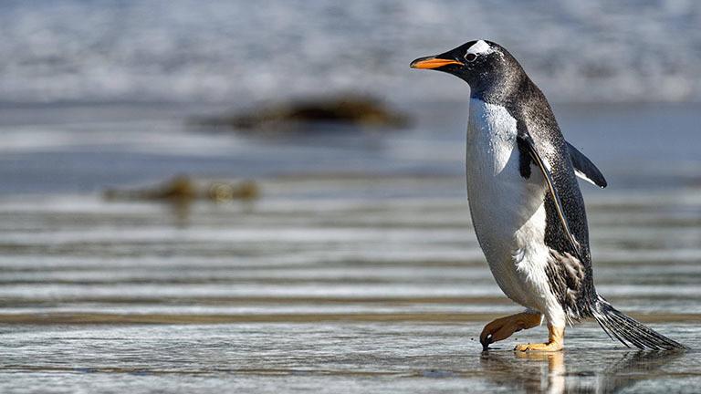 Ein Königspinguin am Südpol. Dort sind die Auswirkungen der FCKW besonders drastisch.