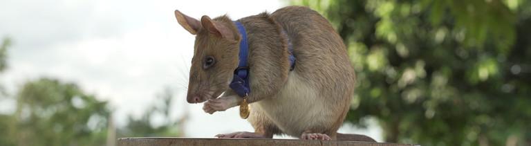 Die Ratte Magawa mit ihrer Goldmedaille.