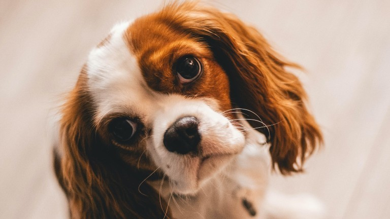 Ein kleiner Hund schaut mit großen Augen in die Kamera
