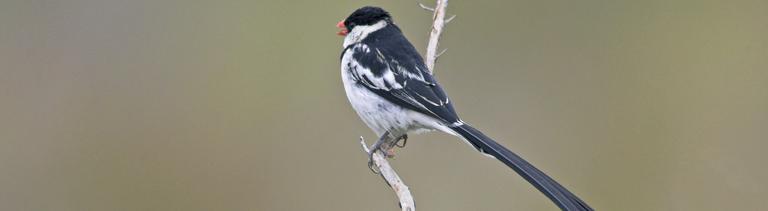 Ein Witwenvogel in der Brutzeit sitzt auf einem Ast
