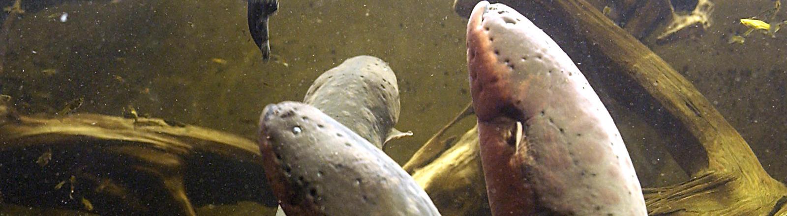 Zitteraale in einem Aquarium