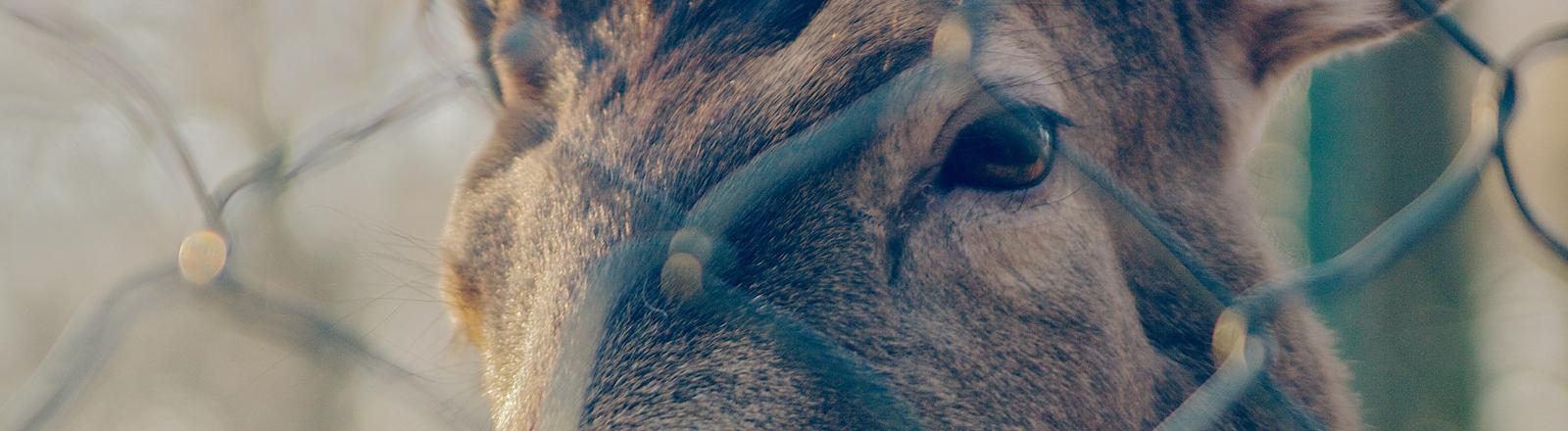 Ein Hirsch hinter einem Zaun.