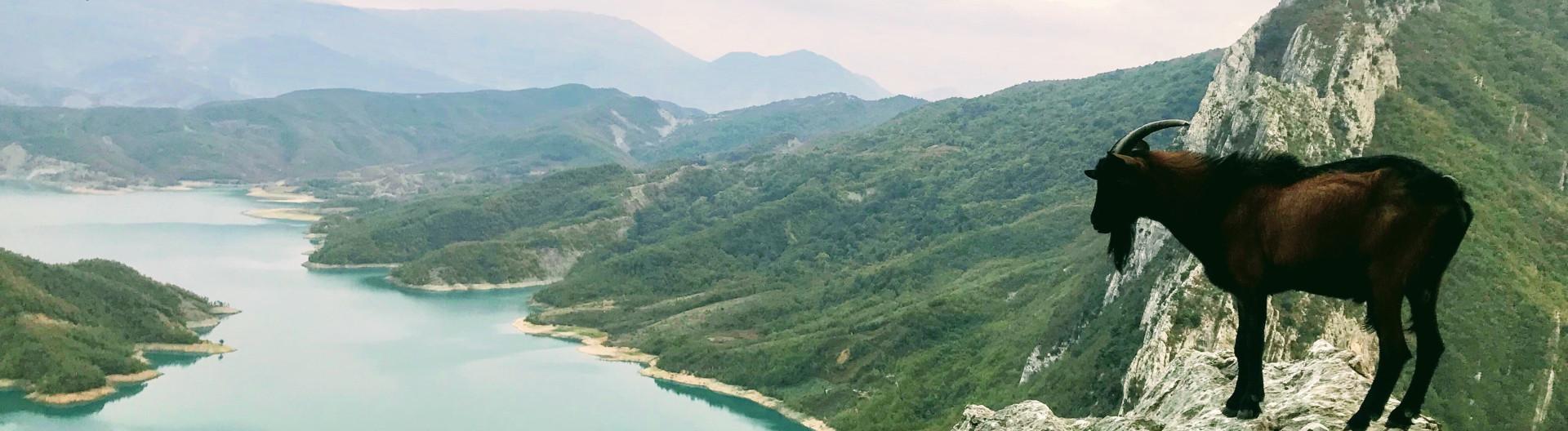 Ziege in den albanischen Bergen am Bovilla-Reservoir, einem Stausee in der Nähe der albanischen Hauptstadt Tirana