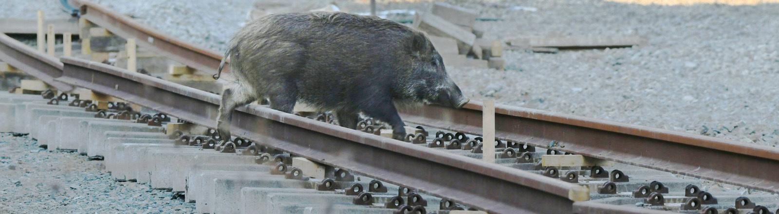 Ein Wildschwein läuft über Gleise in Fukushima