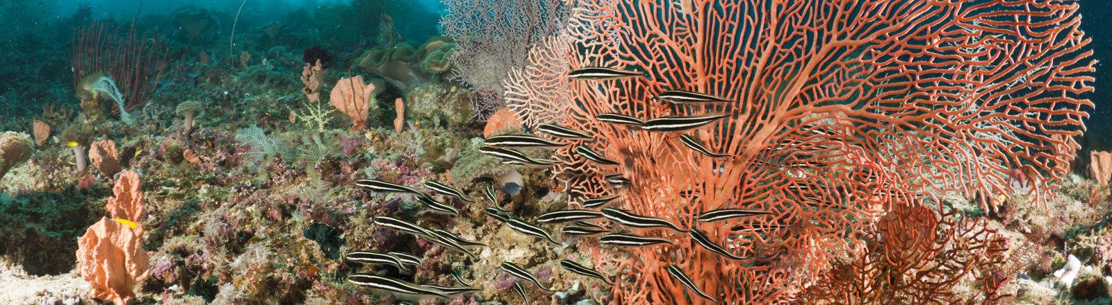 Korallenwels.