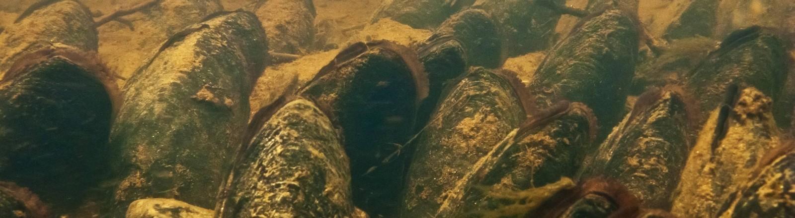 Flussperlenmuscheln in einer Muschlbank in oberfränkischen Gewässern