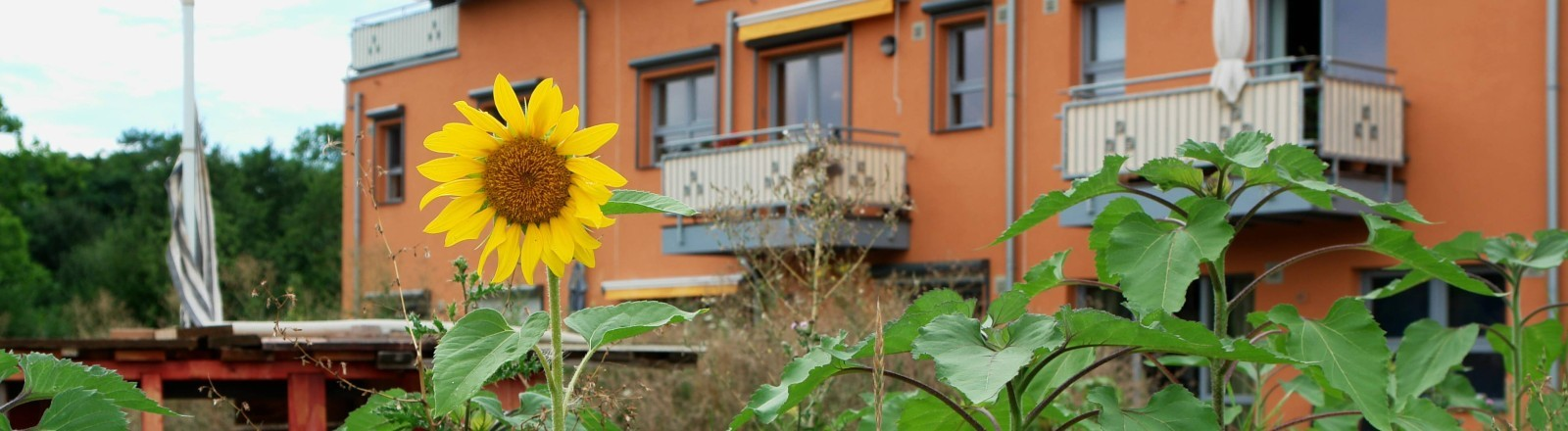 Eine Sonnenblume vor einem Mehrfamilienhaus