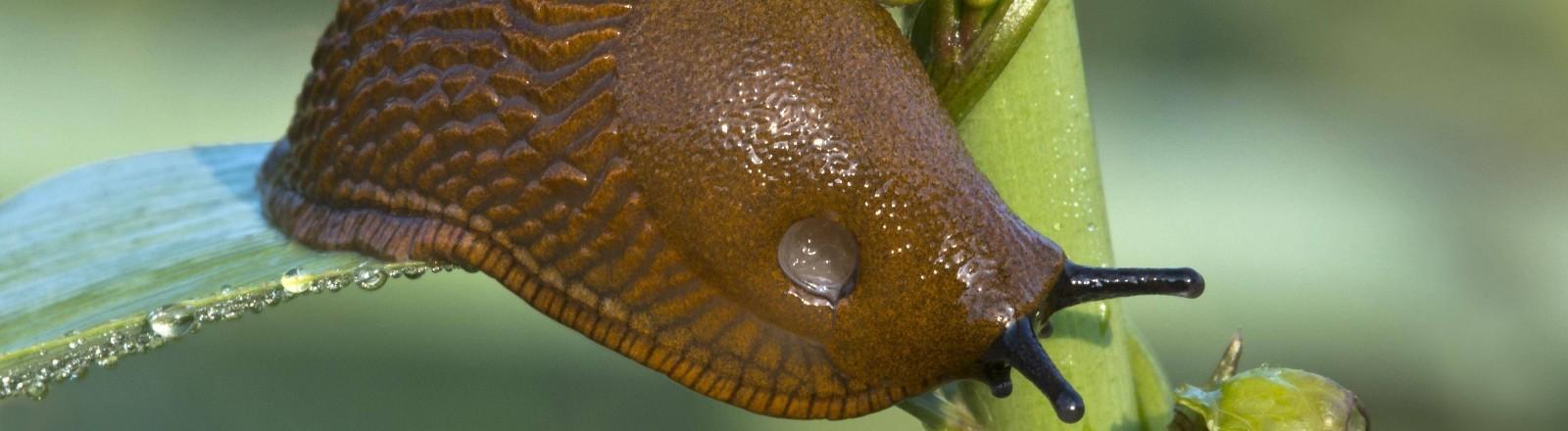 Eine Spanische Wegschnecke auf einer Pflanze