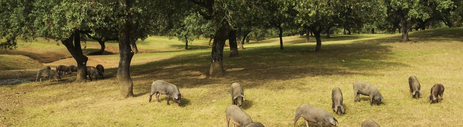 Iberische Schweine in Andalusien im Wald