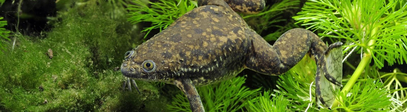 Ein Krallenfrosch im Wasser
